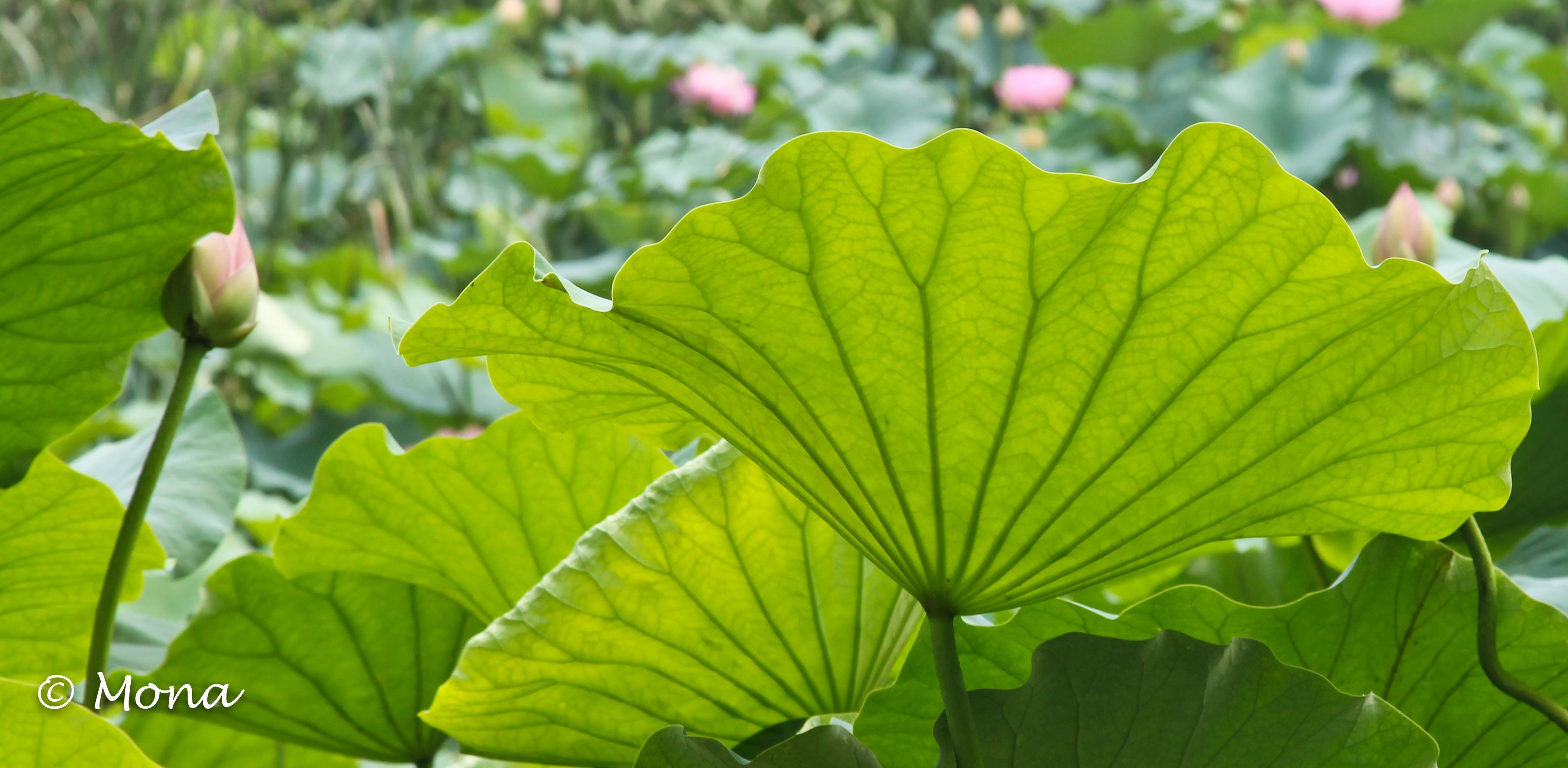 Lotus Flower Ramblings