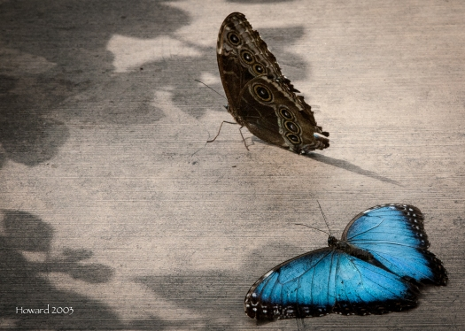 Here we see what the Blue Morpho looks like with wings extended and with wings closed.